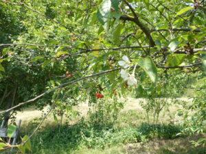 Foto 11 Ciliegio con ciliegie mature e nuovi fiori