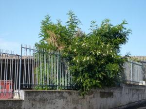 Foto 7 Acacia fiorita ad agosto 2009