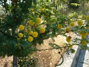 Foto 8 Mimosa in fiore ad agosto 2012