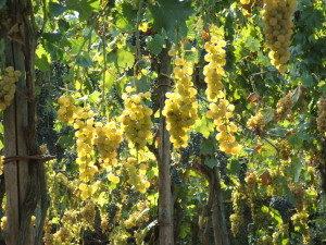 Uva catalanesca, Monte Somma, in prossimità delle Briglie Borboniche - Foto: Vincenzo Marciano