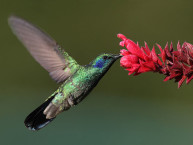 800px-Colibri-thalassinus-001-edit